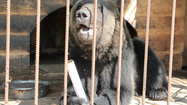 Хозяин зоопарка под Воронежем попал под следствие после нападения медведя напенсионера