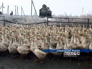 Одно из хозяйств Аннинского района выращивает линдовских гусей