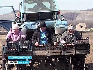 Огородники Павловского района начали посадку картофеля Жители села Русская