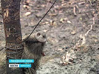 Охотинспекторы нашли в браконьерских петлях двух кабанов в Лискинском районе