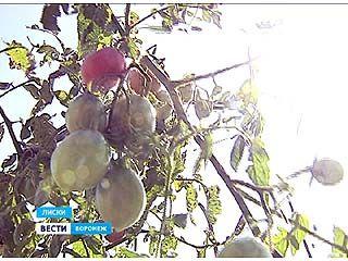 Опасный урожай собирают на своих приусадебных участках жители Лисок