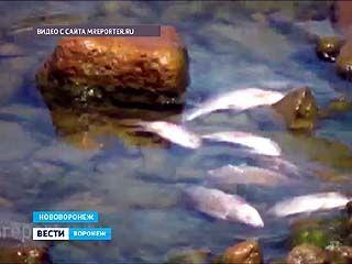 От жары в Нововоронеже произошёл массовый мор рыбы