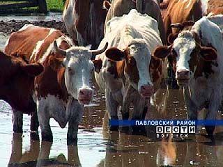 От жары в Павловском районе падают надои молока