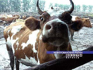 Откроется выставка племенного скота
