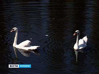 Озеро на Минской принимает своих обитателей - лебединая пара вернулась