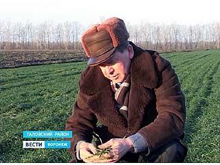 Озимые культуры в Воронежской области под угрозой вымерзания