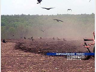 Озимые поля Павловского района опустошают грачи