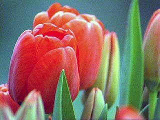 Паразит погубил воронежские тюльпаны