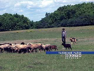 Пастухи в Таловском районе на особом счету
