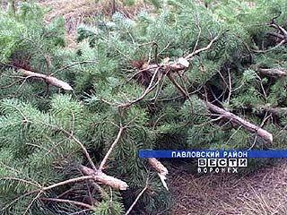 Павловское лесничество готовит елки к Новому году