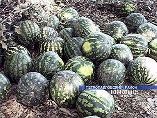 Петропавловские арбузы по вкусу не уступают южным