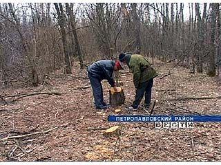 По факту незаконной вырубки деревье возбуждено уголовное дело