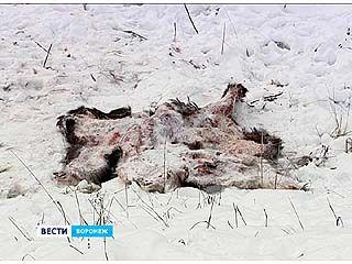 Поезд сбил благородного оленя в Воронежском биосферном заповеднике