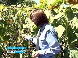 Поля подсолнечника прочёсывают инспекторы Россельхознадзора