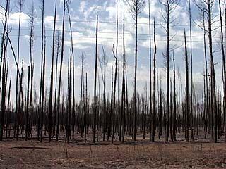 После пожаров придется восстановить более 12 тысяч гектаров леса