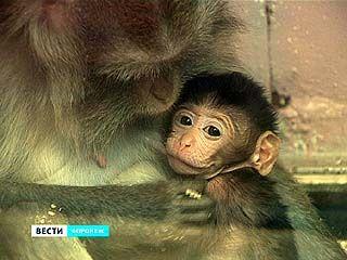 Прибавлением в семействе порадовали яванские макаки Воронежского зоопарка