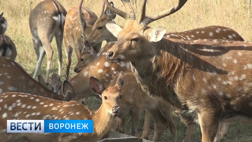 В Воронежской области прижились орловские пятнистые олени
