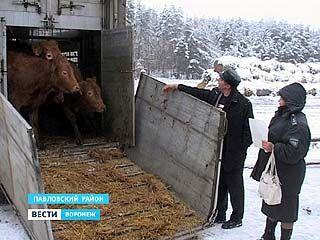 Россельхознадзор может ограничить ввоз скота из Европы из-за вспышки вируса