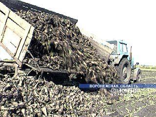 Сахарная свекла с полей Воронежской области практически убрана