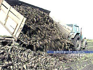 Сахарная свекла убрана по области на площади около 90000 га