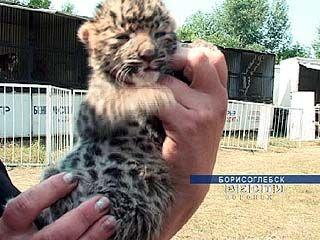 Самка персидского леопарда родила троих малышей