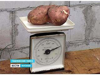 Семья из Павловского района в октябре собрала урожай молодой картошки