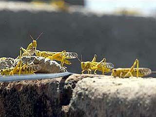 Следующим летом в Воронежской области ожидается пик нашествия саранчи