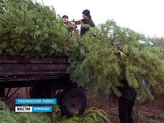 """Специалисты Павловского лесхоза за """"живые"""" ёлки"""