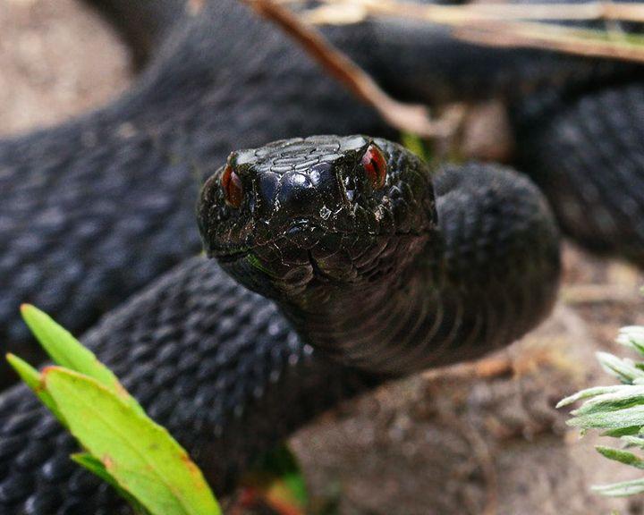 Специалисты зоопарка поймали ядовитую змею на территории воронежской школы