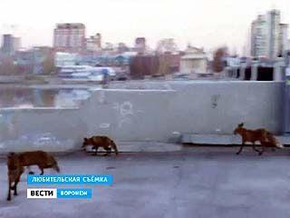 Сразу в нескольких районах Воронежской области объявлен карантин по бешенству