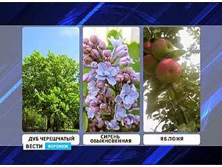 Стартовал федеральный этап голосования за дерево-символ Воронежского региона