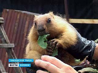 Сурки в Павловском районе больше не под угрозой исчезновения