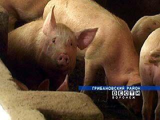 Свиноводческий комплекс Грибановского района на грани банкротства