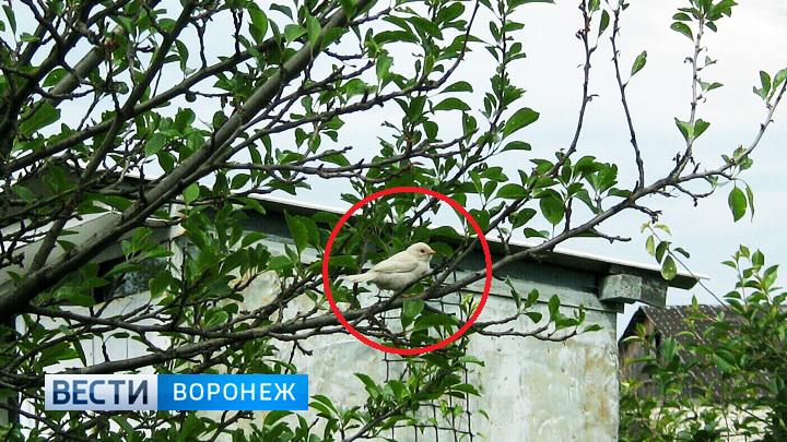 Жительница Воронежа обнаружила редчайшую птицу – воробья-альбиноса