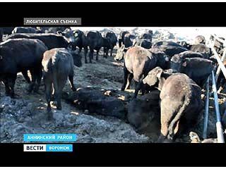 Тему массовой гибели племенных коров подняли на заседании Госдумы