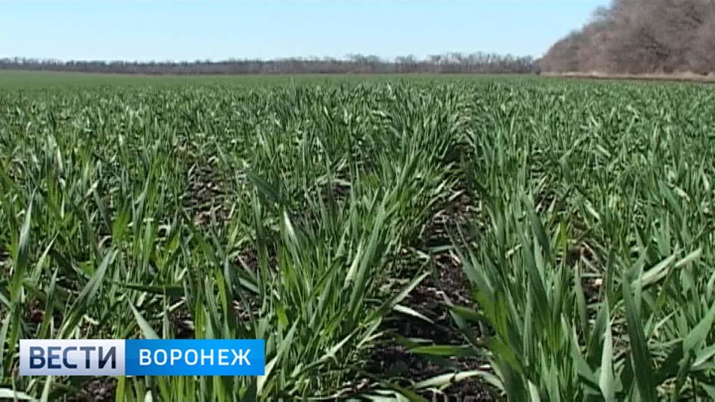 Аграрии: Состояние озимых в Воронежской области оценивается как хорошее и отличное