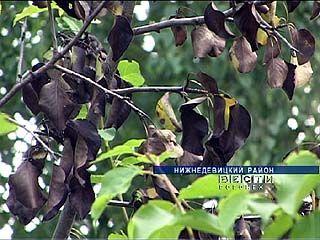 Целая плантация диких груш в Нижневицком районе уничтожена