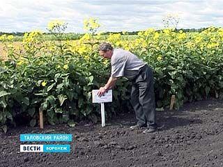 Учёные института имени Докучаева испытывают новую для региона кормовую культуру