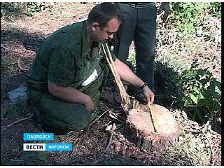 Уникальный сосновый бор в Павловске рискует исчезнуть