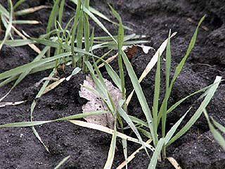Урожай озимых в области в критическом состоянии из-за погоды