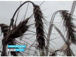 В Аннинском районе до сих пор остаются поля неубранной пшеницы