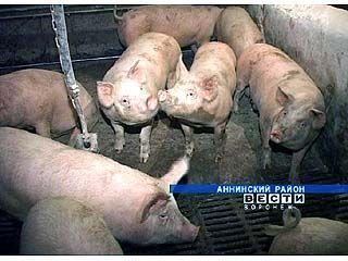 В Аннинском районе открыли новый свиноводческий комплекс