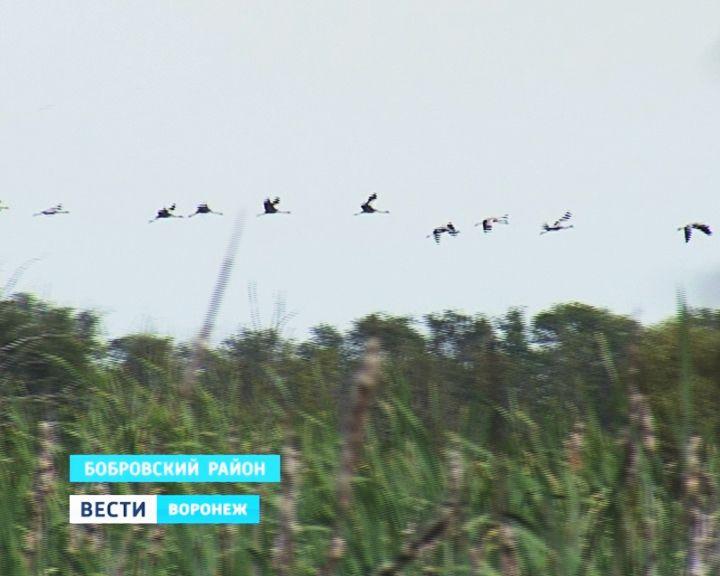 В Боброве поселилась крупнейшая в регионе стая журавлей