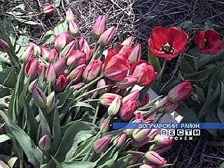В Богучаре тюльпаны выращивают в промышленных масштабах
