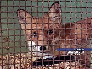 В Богучарском районе на женщину напала бешеная лисица
