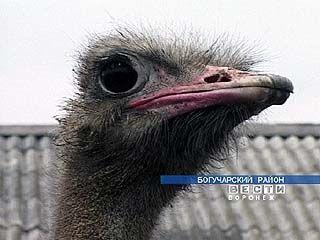 В Богучарском районе разводят страусов