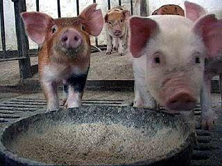 В Богучарском районе зафиксирована вспышка классической чумы свиней