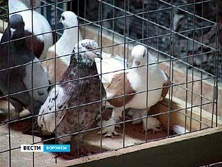 В Борисоглебске прошла первая в истории города выставка-ярмарка голубей