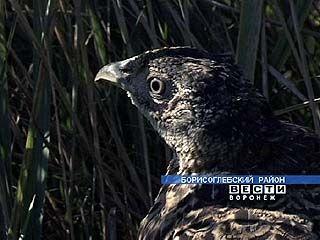 В Борисоглебских лесах разводят фазанов