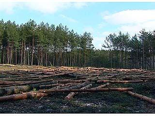 В Боровом ведется вырубка леса, законность которой под вопросом